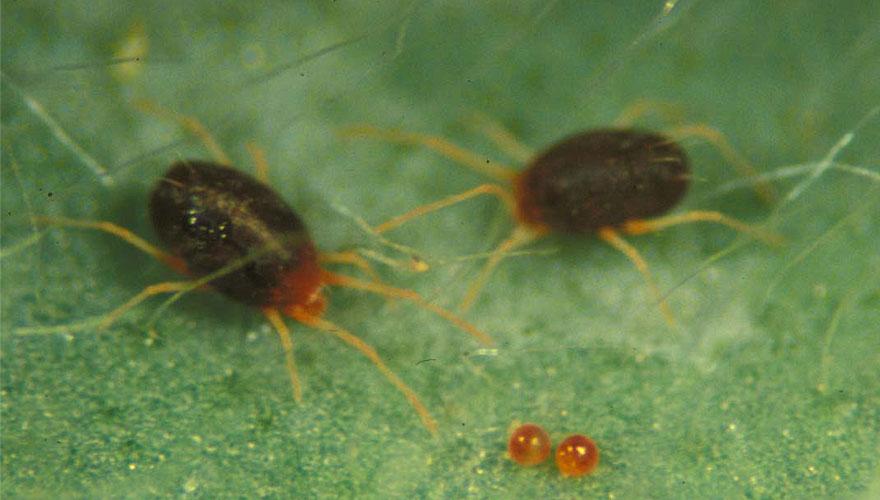 Clovermites